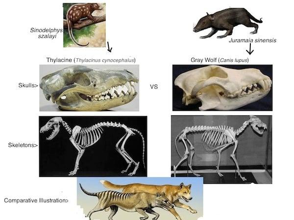 Thylacine vs Wolf2
