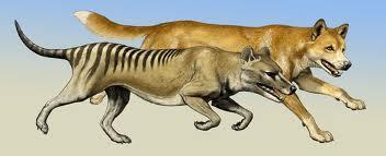 dog vs thylacine