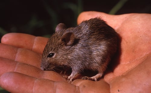 1963 Marsupial Mouse or Bandicoot