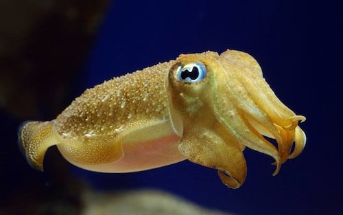 baby_cuttlefish_by_mentaldstruction