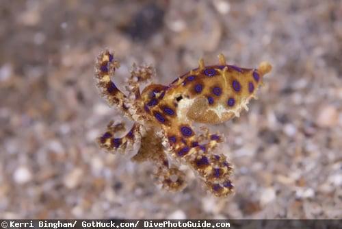 octo papillae