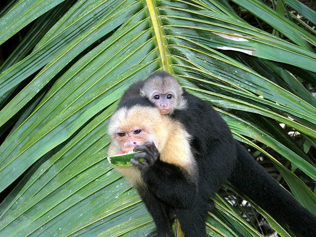 capuchin mom