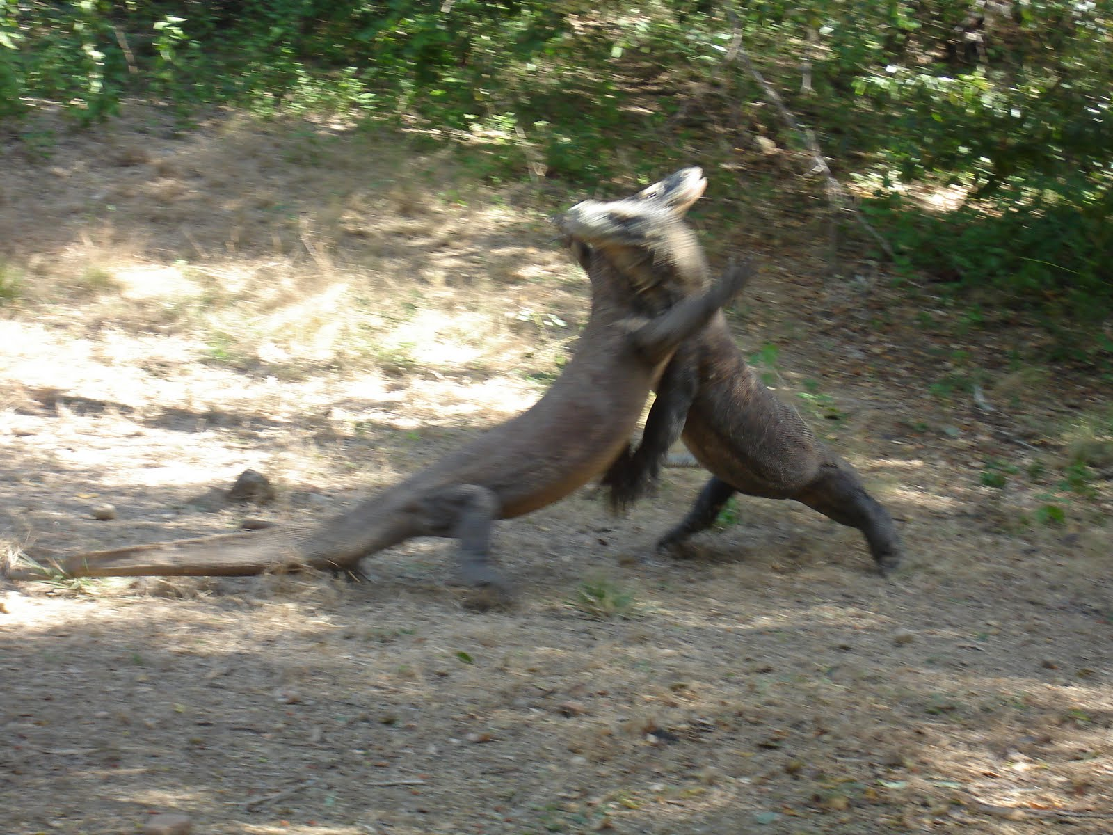 komodo fight