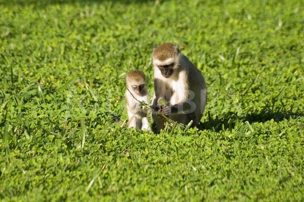 Vervet Monkey mother teaching baby
